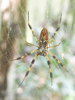 Nephila clavipes spider on web with forest background