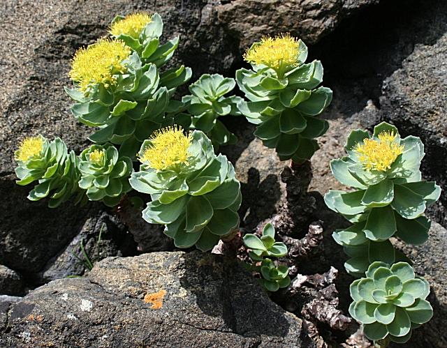 Roseroot (Sedum rosea) - geograph.org.uk - 832702