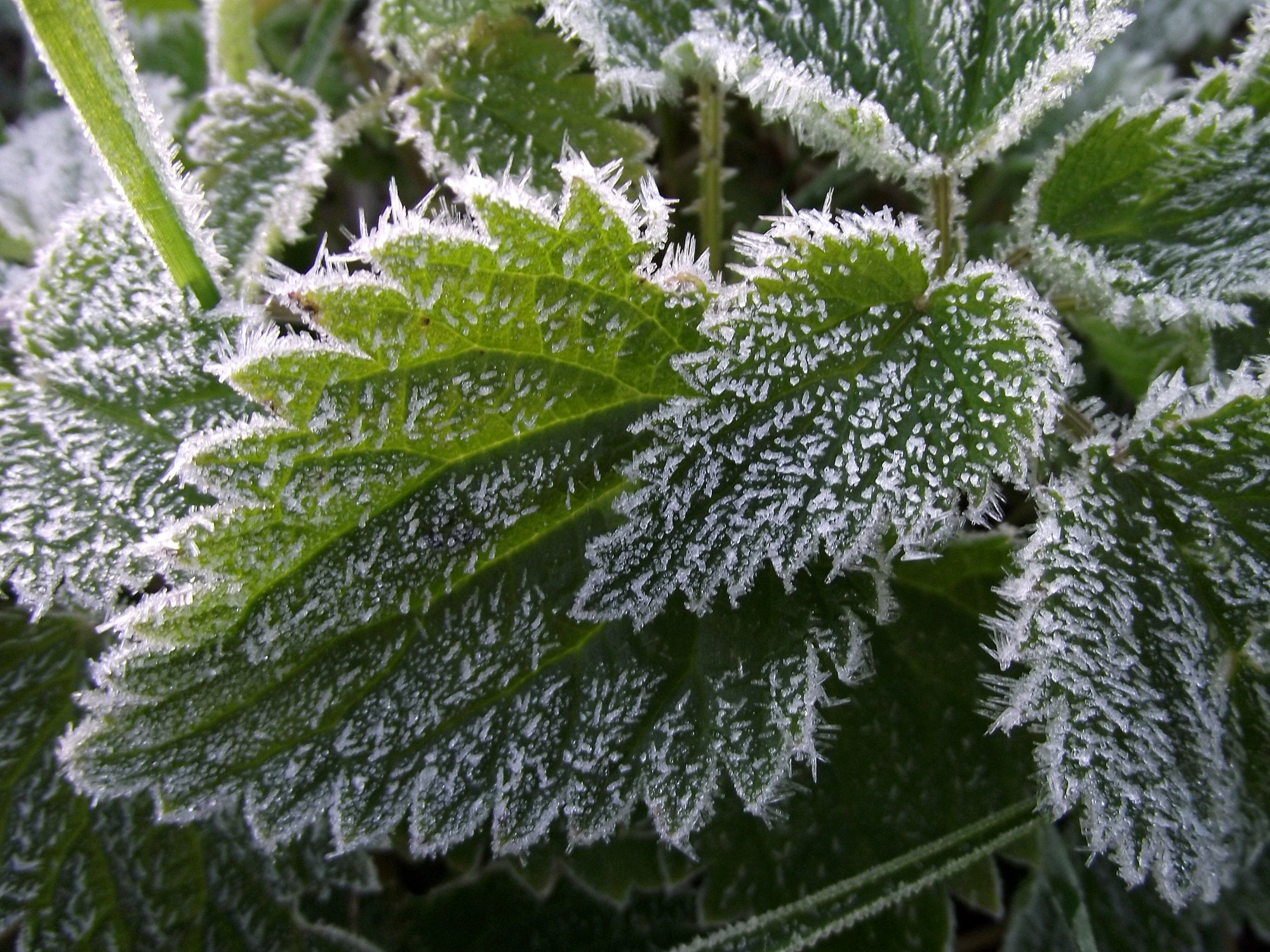 https://i1.wp.com/upload.wikimedia.org/wikipedia/commons/a/a5/Frost_on_nettle_leaves.jpg