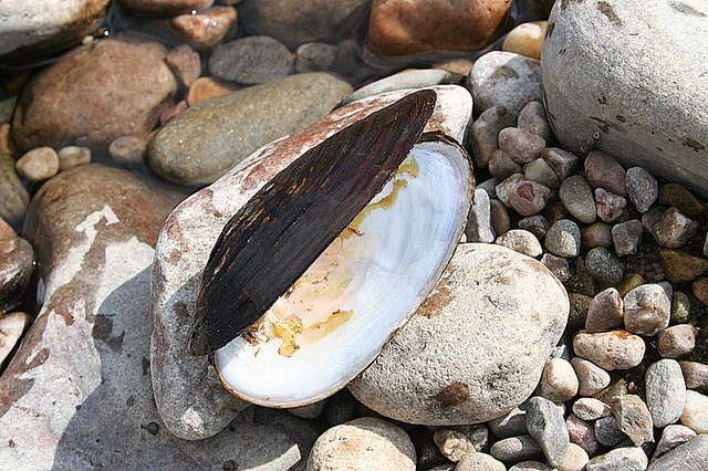 English: A freshwater pearl mussel on the bank...