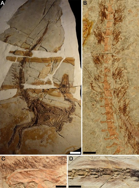 https://i1.wp.com/upload.wikimedia.org/wikipedia/commons/a/a7/Sinosauropteryx_plumage_fossils.jpg?resize=486%2C659&ssl=1