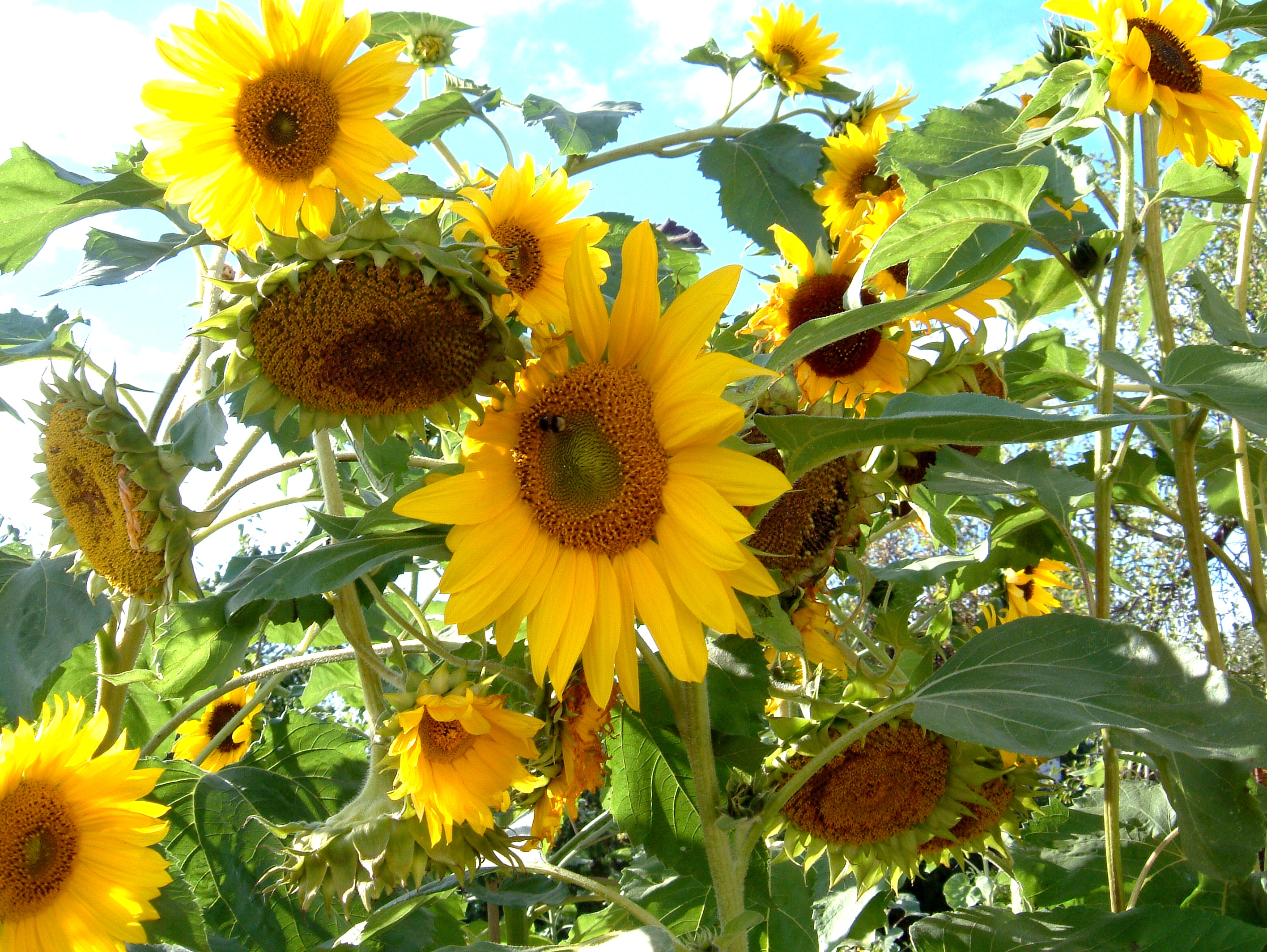 How Do Sunflowers Reproduce