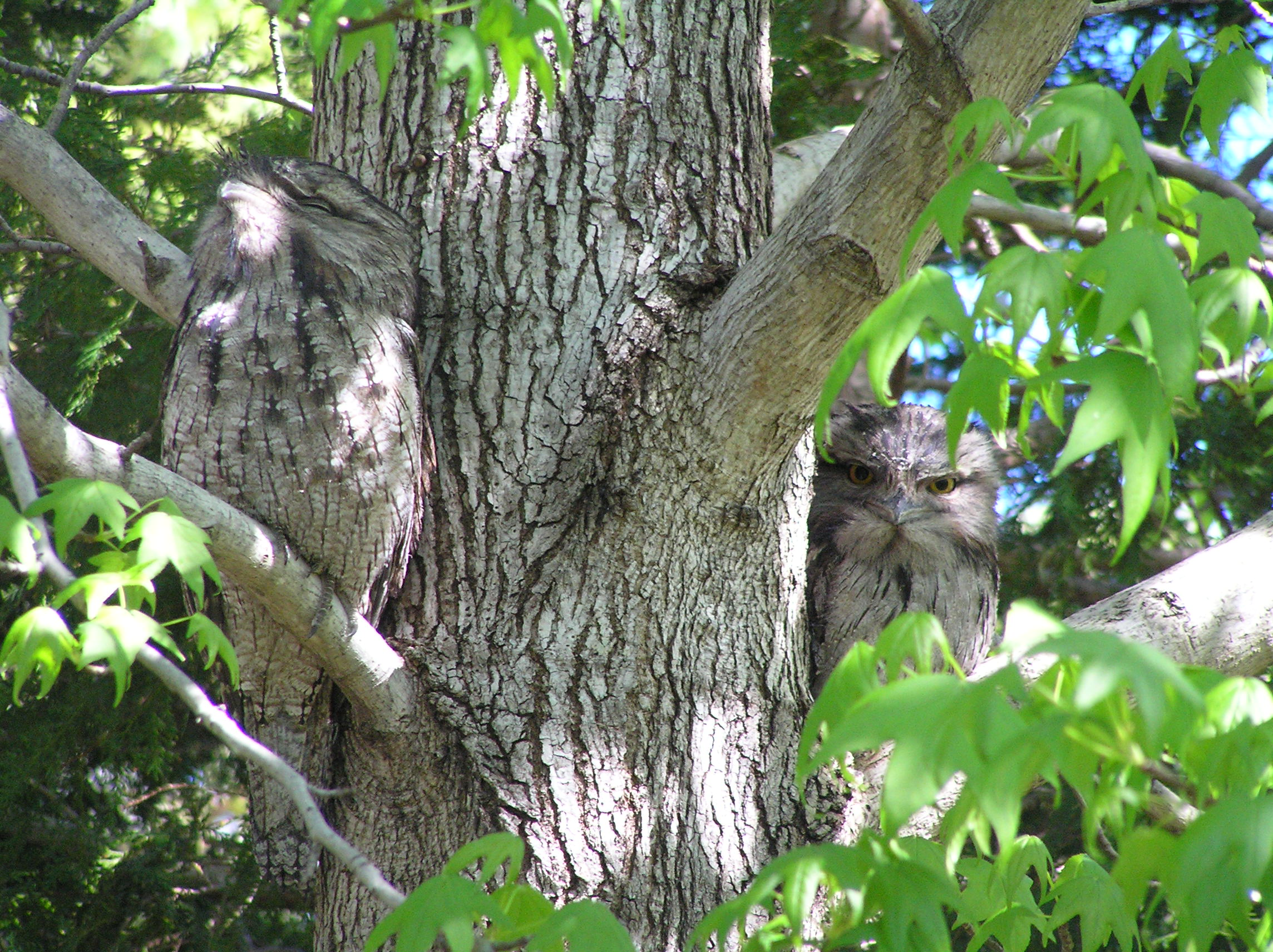 Can you find two Tawny Frogmouths?