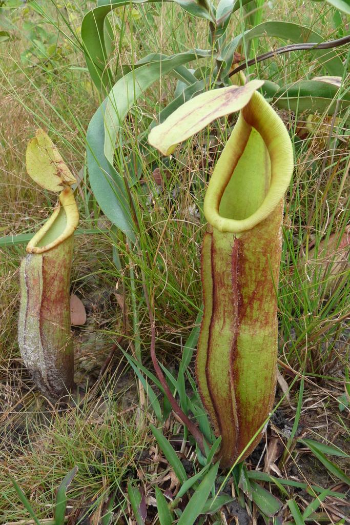 Nepenthes Smilesii Wikimedia Commons