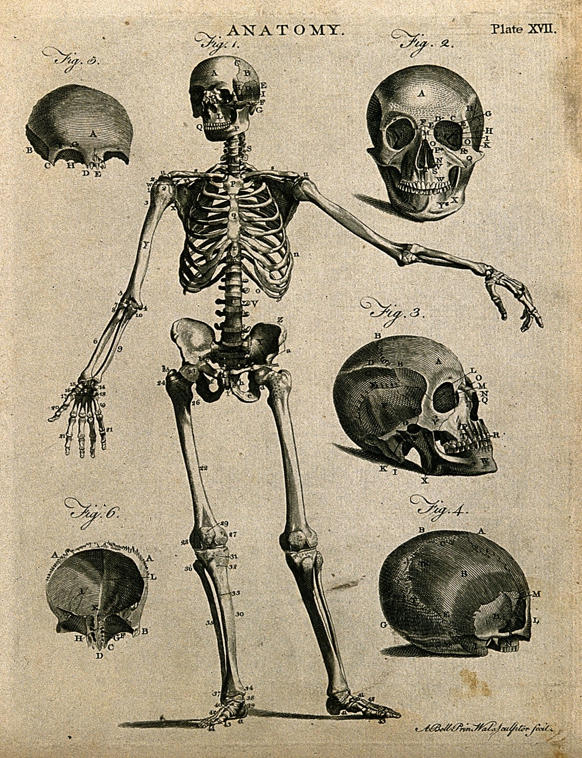 File Skeleton With Left Arm Extended Front View And