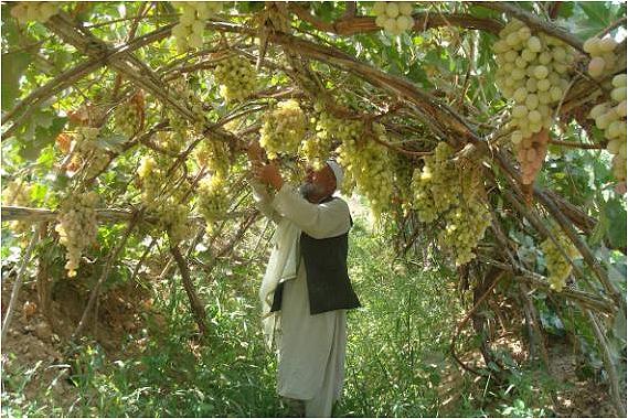 taille vigne pergola