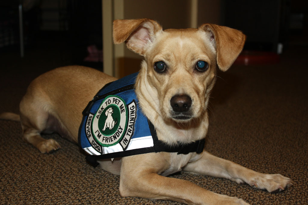 Photograph of a small dog wearing a service dog vest