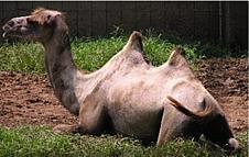 Camelus bactrianus