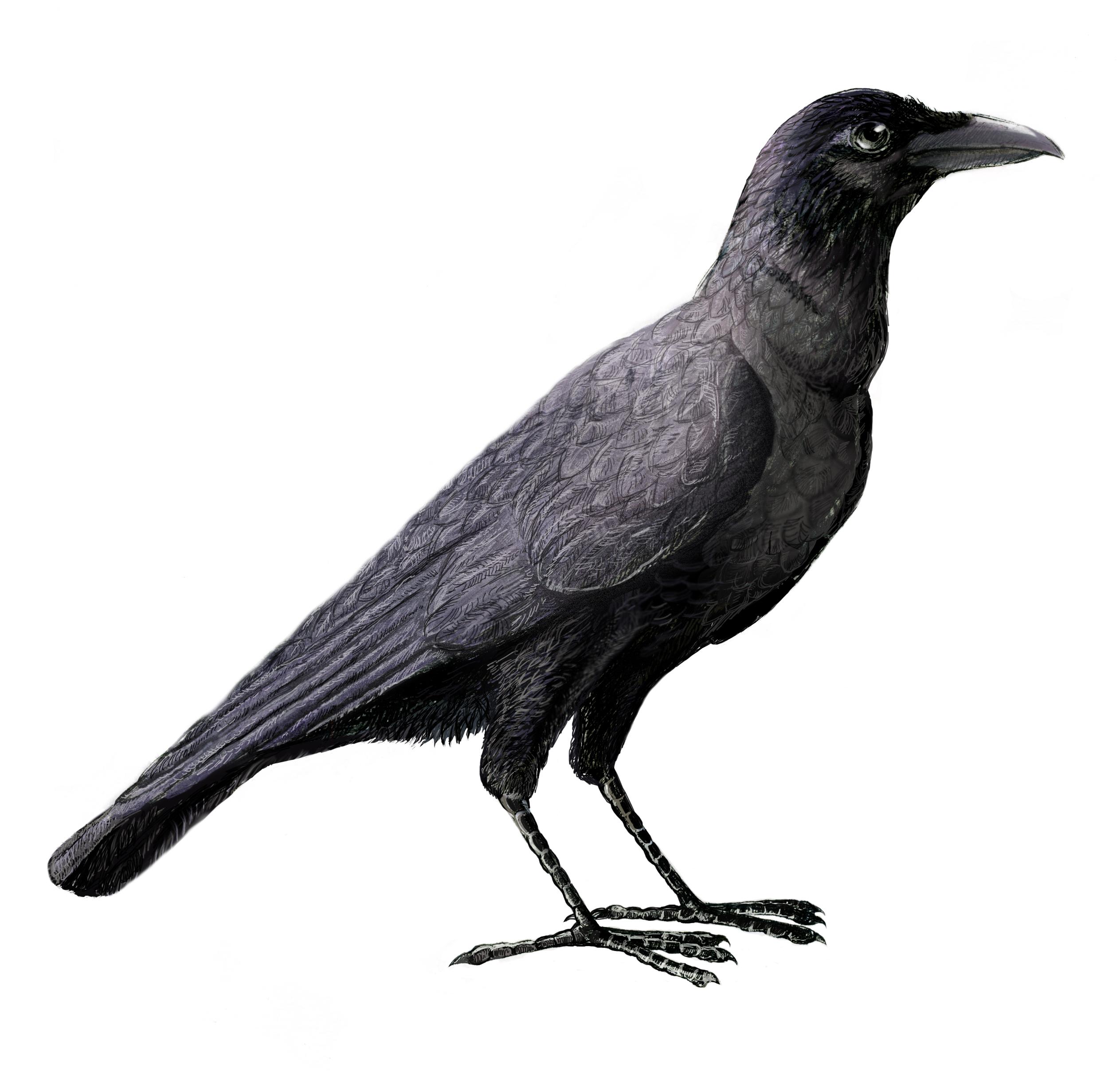 File:Corvus enca.jpg - Wikimedia Commons