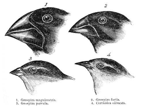 Darwin's finches by Gould