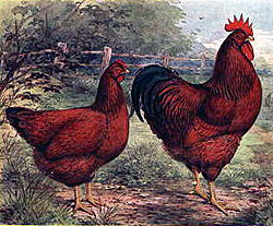 Rhode Island Reds in a lithograph, c. 1915.