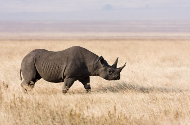 Image result for african black rhinoceros