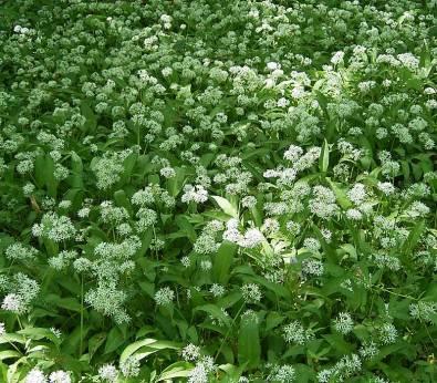 Allium ursinum8 ies.jpg