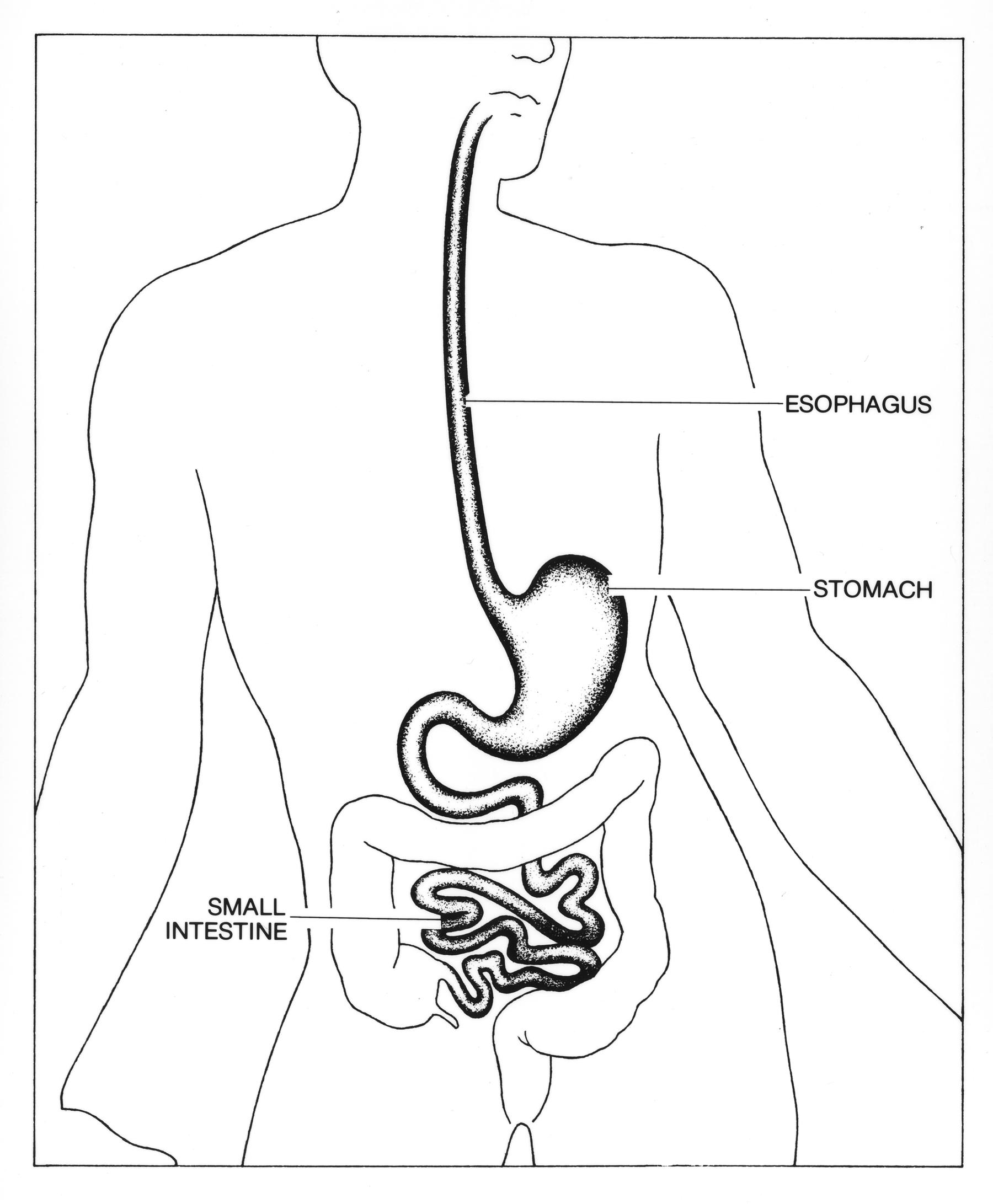 File Esophagus Stomach Small Intestine