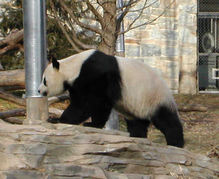 Giant Panda And Black White