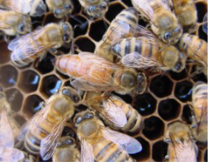 A queen honeybee surrounded by workers.