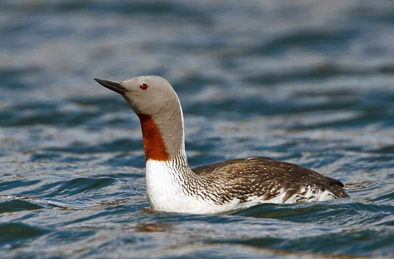 Red-throated Diver - Gavia stellata - Lómur by Ómar Runólfsson