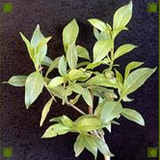 English: Henna Lawsonia inermis plant
