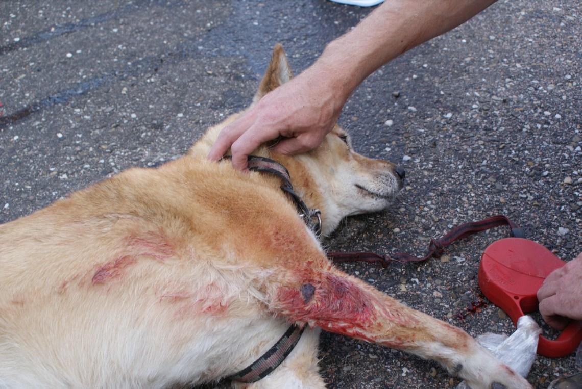 Zora bitten by Pit bull dog Pitbull Dog Attack Video