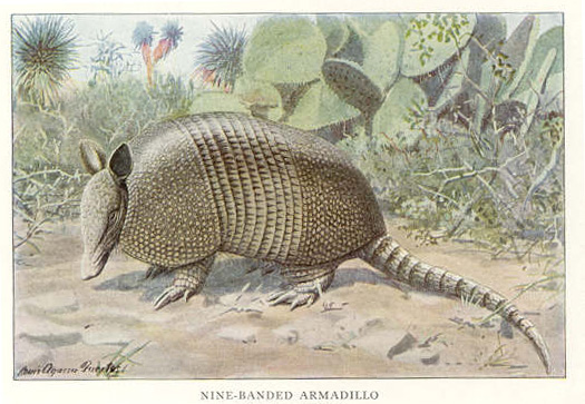 Nine-banded-Armadillo
