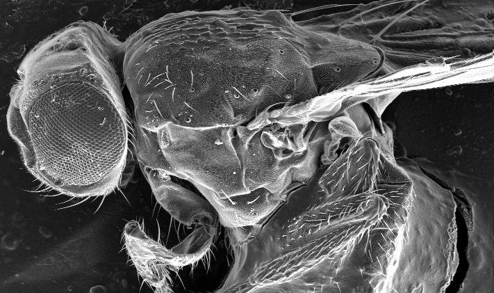 Drosophila melanogaster   by-sa-2.5