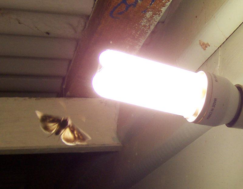 Moth and lightbulb