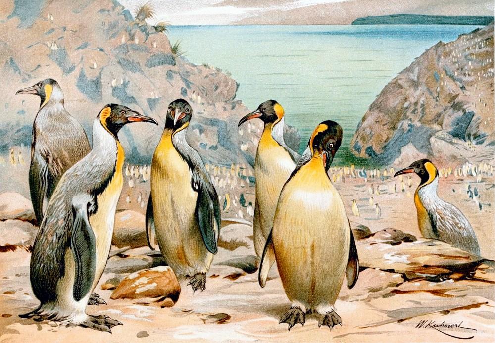 Giant penguins wandered New Zealand (2/2)
