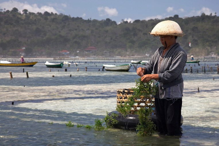 Image result for japan seaweed cultivation