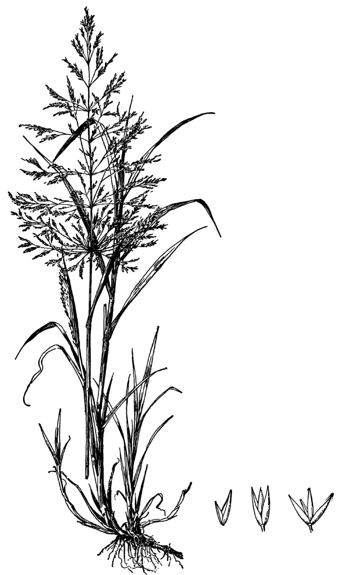 File Agrostis Gigantea Drawing