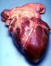 Human heart. Picture taken during autopsy.