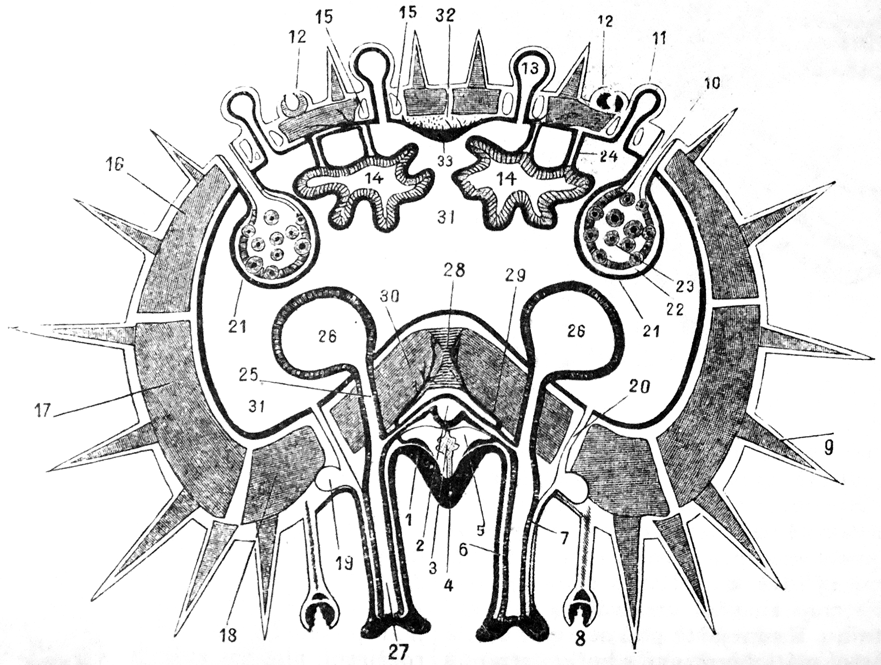 File Cross Section Of A Starfish Arm