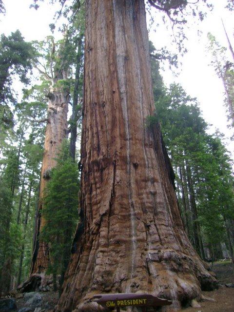 الرئيس شجرة ويكيبيديا