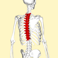 Thoracic Spine -- By Anatomography (en:Anatomography (setting page of this image)) [CC BY-SA 2.1 jp (http://creativecommons.org/licenses/by-sa/2.1/jp/deed.en)], via Wikimedia Commons