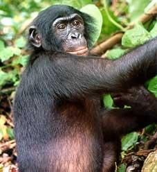 Ficheiro:Bonobo.jpg