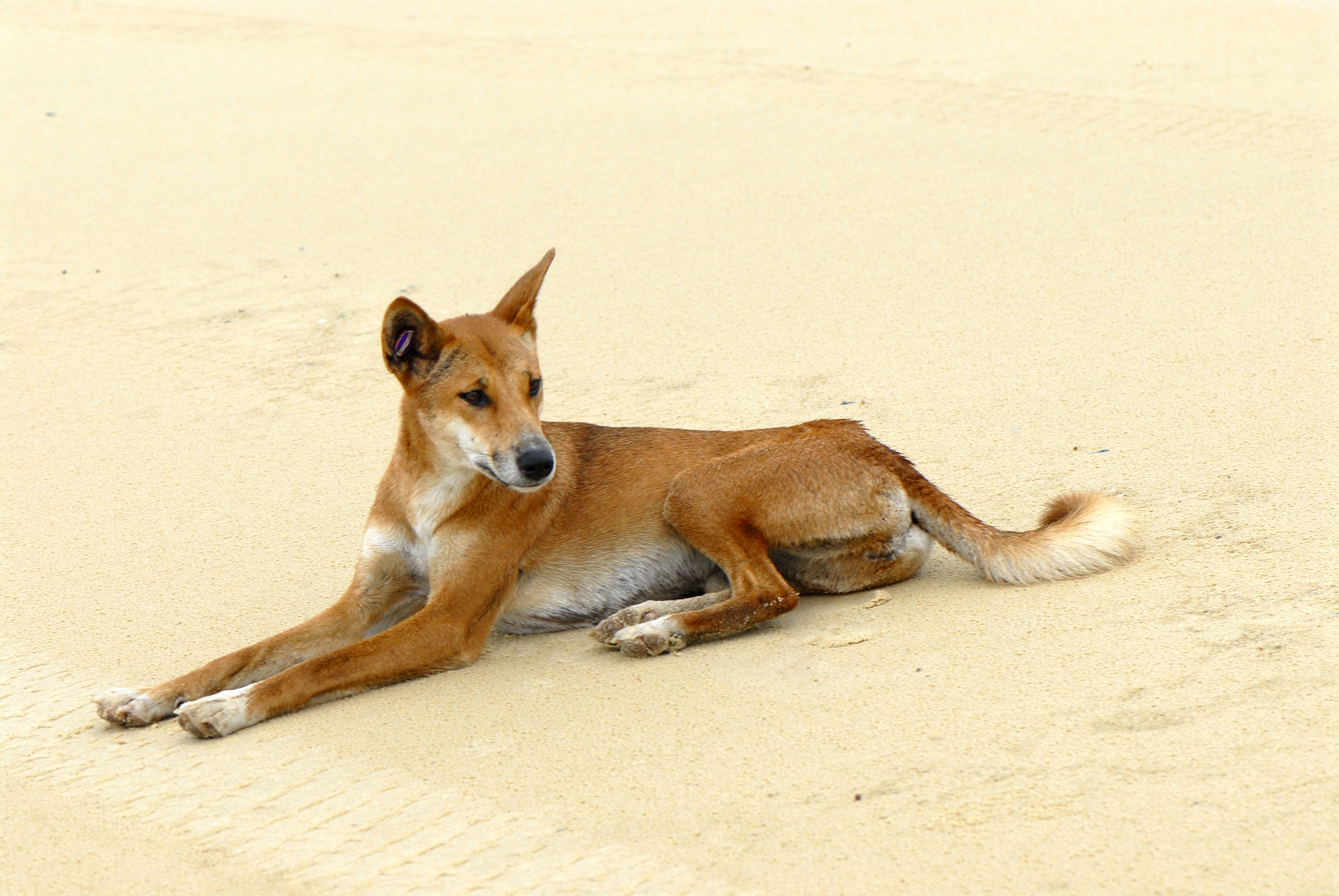 Canis lupus dingo Fraser Island Queensland, Au...