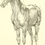 File The Anatomy And Physiology Of The Horse With Anatomical And Questional Illustrations Containing Also A Series Of Examinations On Equine Anatomy And Physiology With Instructions In Reference To 18008540159 Jpg Wikimedia Commons