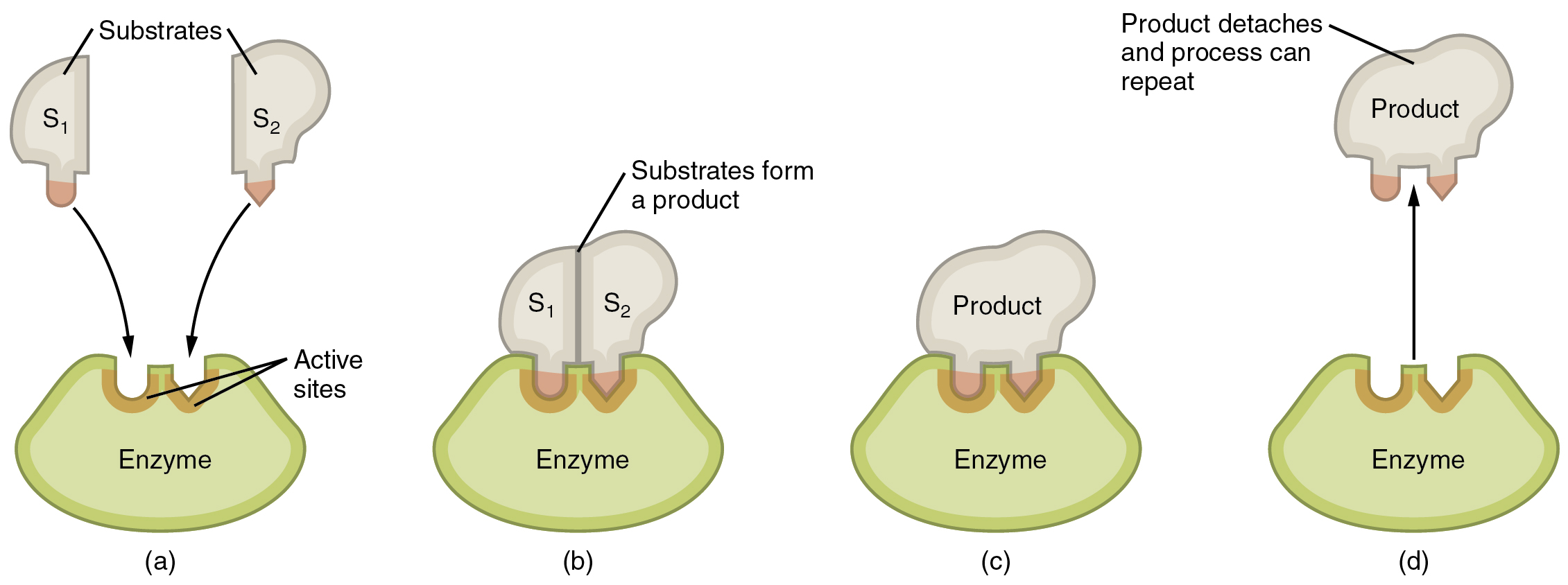 File 227 Steps In An Enzymatic Reaction 01