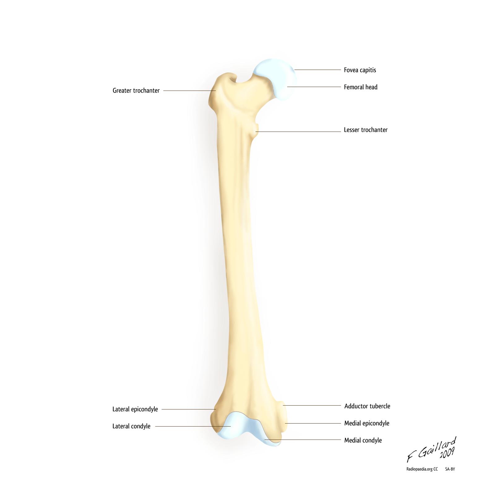 Gross Anatomy Of Commonly Fractured Bones