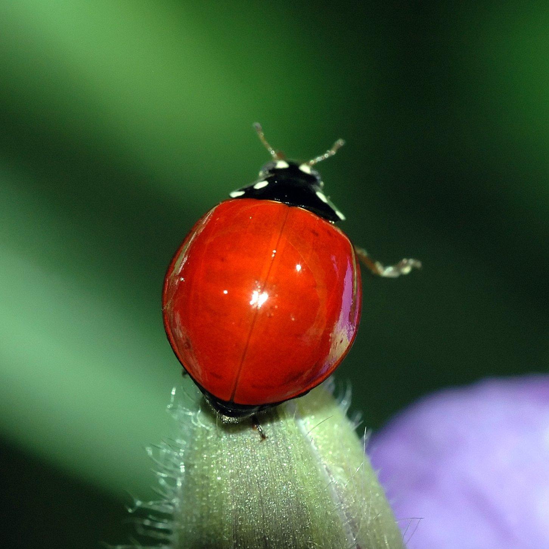 File Ladybug Red