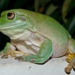 Australian Green Tree Frog Wikipedia