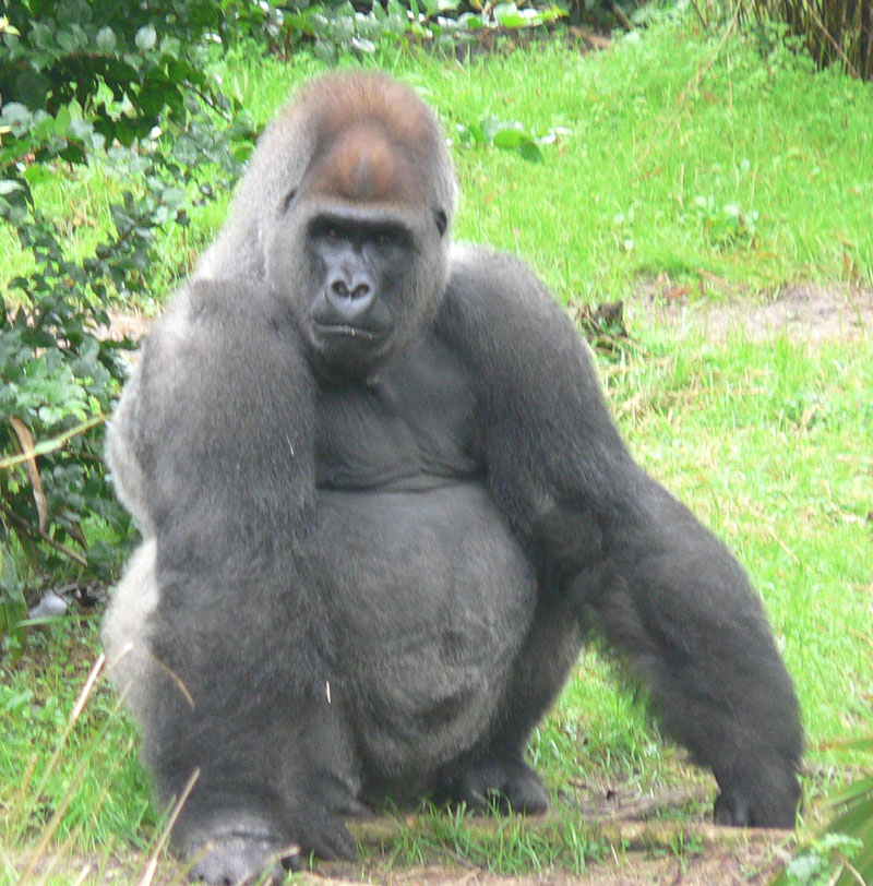 https://i1.wp.com/upload.wikimedia.org/wikipedia/commons/b/bc/Male_silverback_Gorilla.JPG