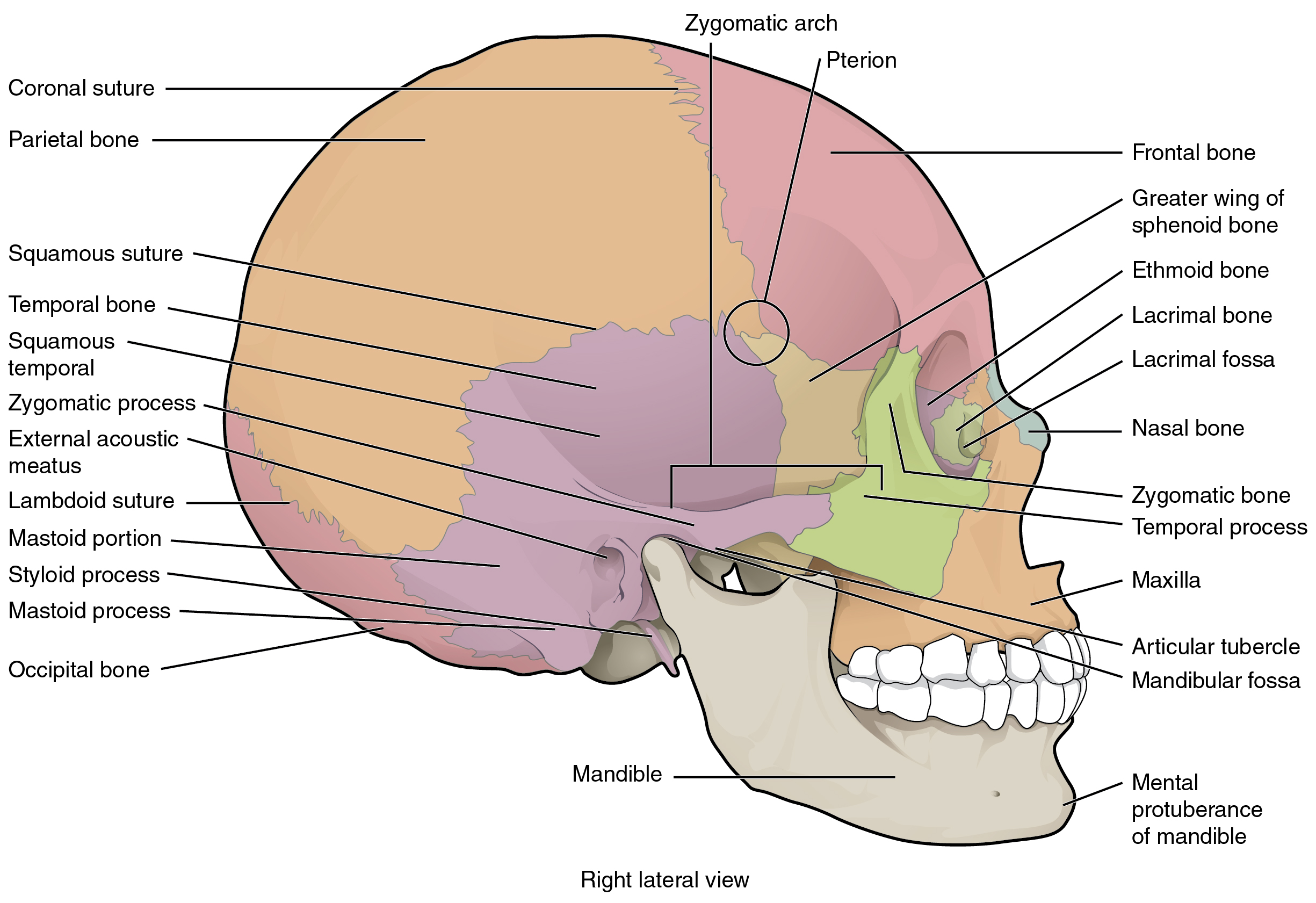 File 705 Lateral View Of Skull 01