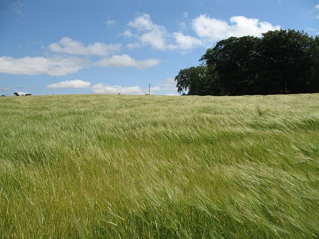 English: Barley field, Ormiston Barley field b...