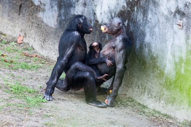 Bonobos manteniendo relaciones sexuales