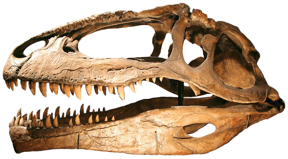 https://i1.wp.com/upload.wikimedia.org/wikipedia/commons/b/bd/Giganotosaurus.jpg