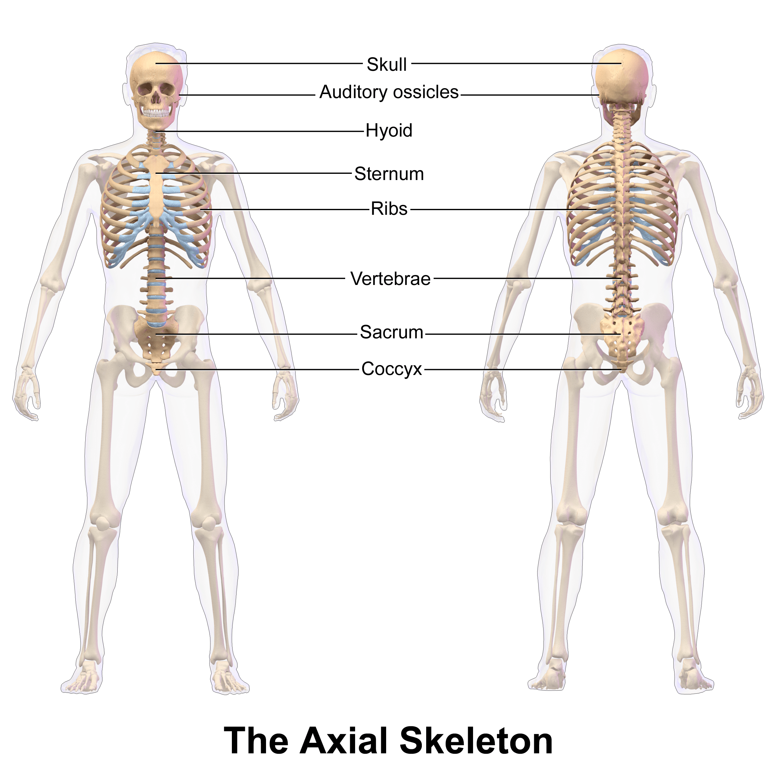 File Axial Skeleton