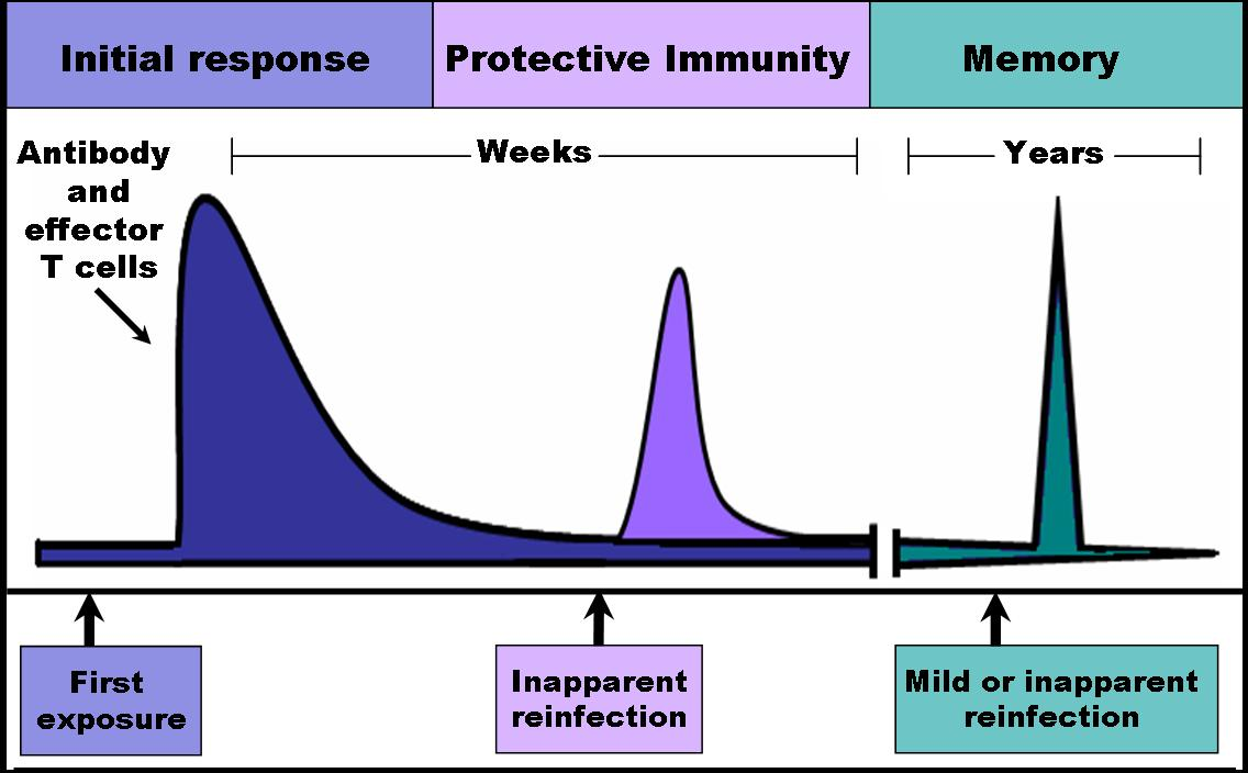 Curs duna resposta immunitària