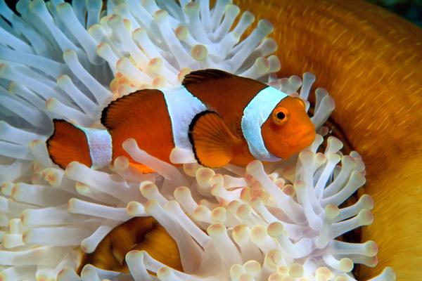 Clownfish Houston Zo