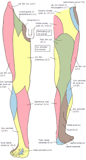 Lateral sural cutaneous nerve  Wikipedia