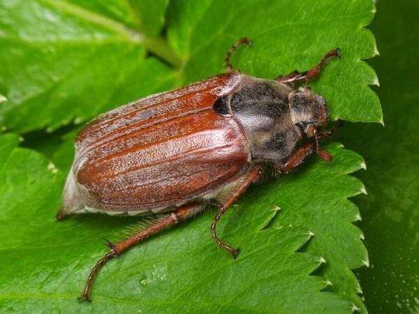 Майские жуки — Википедия